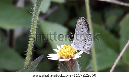 Lesser Grass Blue Butterfly on Hairy White Oldfield Aster