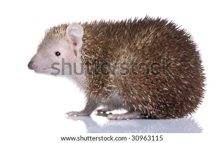 Lesser Hedgehog Tenrec , Echinops telfairi in front of a white background, It is endemic to Madagascar.