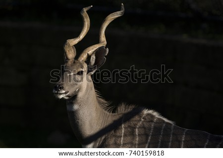 Lesser Kudu in a zoo. #740159818