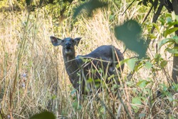 Lesser kudu is a forest antelope found in East Africa. It is placed