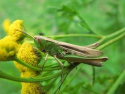 Lesser marsh grasshopper (Chorthippus albomarginatus) - green grasshopper on yellow tansy flowers (Tanacetum vulgare), Gdansk, Poland
