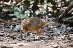 Lesser Mouse-deer or Lesser Malay Chevrotian