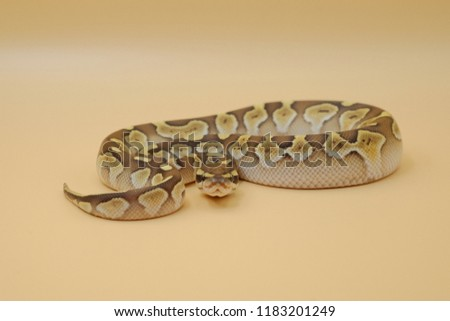 Lesser platinum ball python (Python regius) isolated on white background.