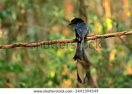 Lesser Racket-tailed Drongo on branch in nature