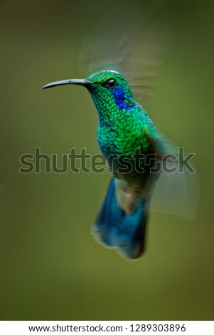 Lesser Violetear - Colibri cyanotus - mountain violet-ear, metallic green hummingbird species commonly found from Costa Rica to northern South America. Formerly named the Green Violetear #1289303896