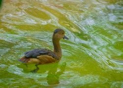 Lesser whistling duck or Indian whistling duck swimming in a dirty pond. Its scientific name is: Dendrocygna javanica. The duck disturbed the water and a nice wavy pattern is formed. Daytime photo.