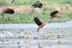 Lesser Whistling Ducks Are Taking Off From The Wetland