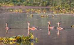 Lesser whistling ducks swimming in water of a swamp