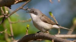 Lesser whitethroat, Sylvia curruca. Little songbird. Close-up, bird sits on a branch