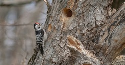 Lesser woodpecker hollows a nest for its family. He builds several nests at once and then the female flies in and chooses the housing that seems suitable for her