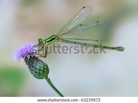 Lestes barbarus (female)