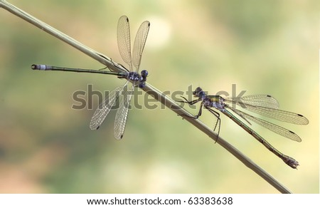 Lestes dryas (couple)