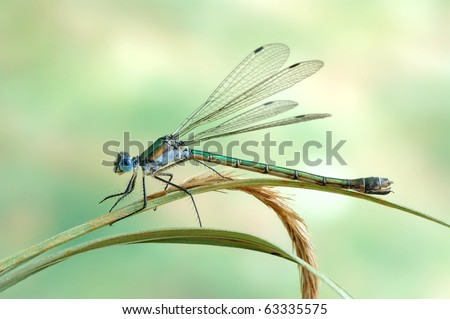 Lestes dryas (female)