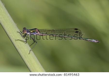 Lestes Viridis resting on a stalk