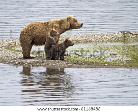 Let Me See - A grizzly bear cub stands up to get a better look in Katmai National Park, Alaska.