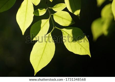 Letnie liście widziane pod słońca w zbliżeniu Zdjęcia stock ©