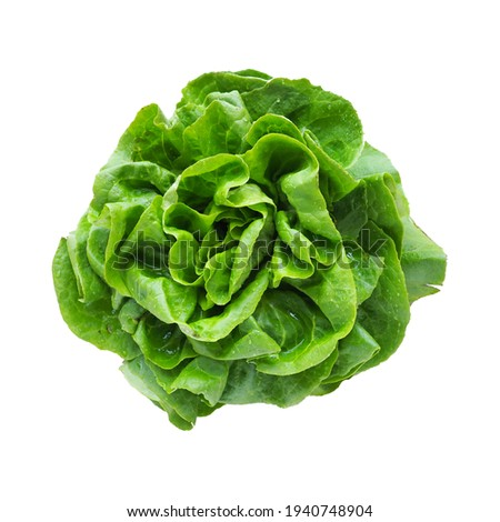 lettuce. An annual herb of the genus Lettuce of the Asteraceae family. Delicious fortified leaves. Green salad or side dish. Leaf lettuce or head lettuce. Isolate on white background.