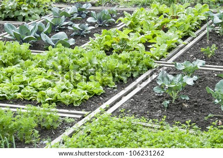 Lettuce and different other vegetables in a vegetable garden