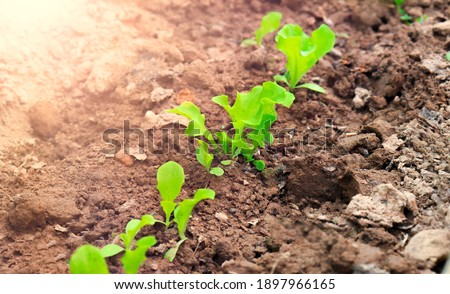 Lettuce Bed Young lettuces planted. Fresh young leaves and sprouts of green salad. Lettuce growing in garden. Agricultural work on cultivation of salad lettuce. Plant growing on soil. Eco earth day