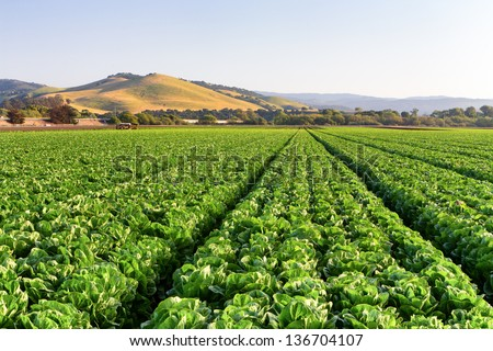 Lettuce Field in Salinas Valley, California.