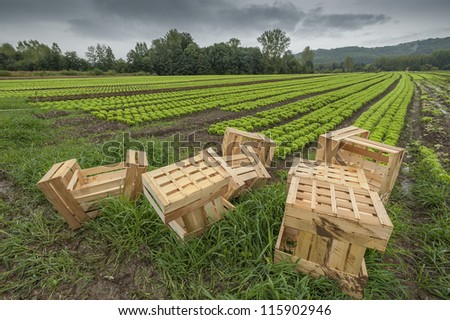 Lettuce field with wood baskets ready for packing