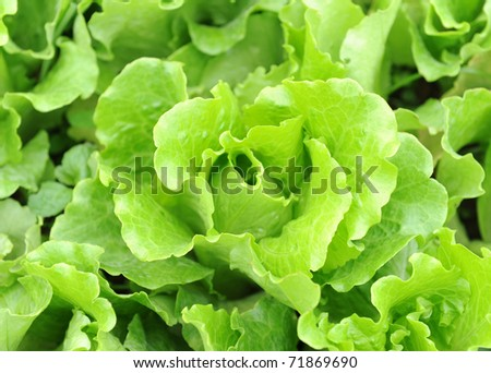 lettuce growing in the soil