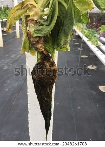Lettuce grown in hydroponics May encounter problems with the infestation of diseases and pests As in the picture, lettuce is infested by a disease causing root rot. Foto stock ©