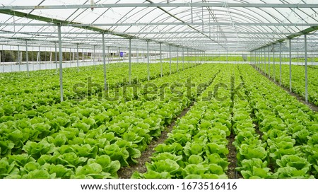 lettuce grown in the greenhouse in the greenhouse Stock photo ©
