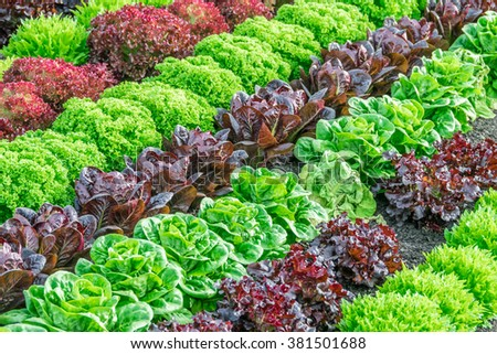 Lettuce harvest: a rainbow of colorful (colourful) fields of summer crops (lettuce plants), including mixed green, red, purple varieties, grow in rows in Salinas Valley of Central California. #381501688