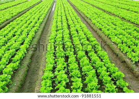 lettuce in field - stock photo
