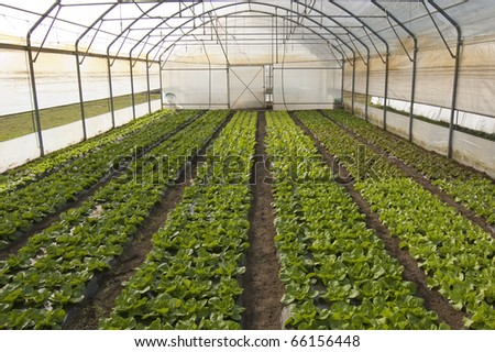 Lettuce in greenhouse