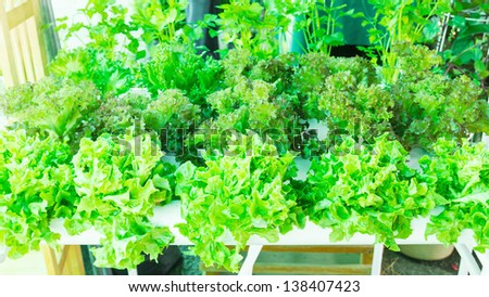 Lettuce in the greenhouse .Organic hydroponic vegetable garden.