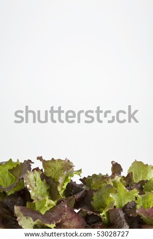Lettuce leaves growing in a pot on white
