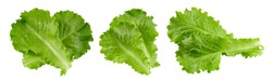 Lettuce leaves isolated on white background. Lettuce salad Clipping Path