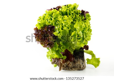Lettuce Plant With Root Ball Isolated On White Background ...  Lettuce Plant W...