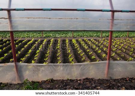Lettuce plantation in a greenhouse #341405744