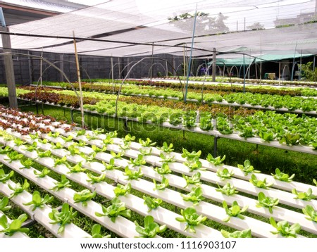 Lettuce plants growing in the greenhouse with hydroponic system. #1116903107