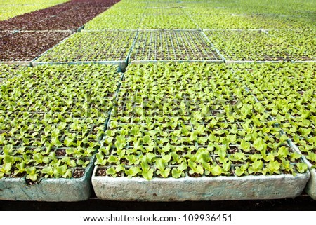 Lettuce plants in a greenhouse