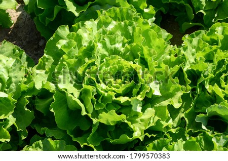 Lettuce ready for harvest, close up. Green lettuce leaves growing on the field. Organic lettuce growing in soil. Fresh lettuce leaves, close up. Salad plant. Organic food production. Agriculture