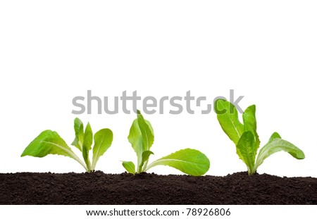 Lettuce seedling in soil
