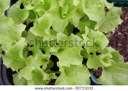 Lettuce seedlings waiting to be transplanted