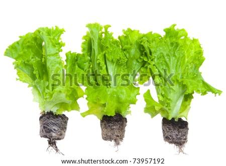 lettuce with the roots on a white background