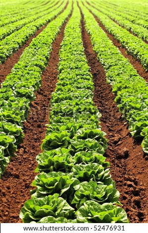 Lettuces growing in rows. The rows of lettuces appear to converge in the distance creating the effect of a green  arrowhead pointing ahead.