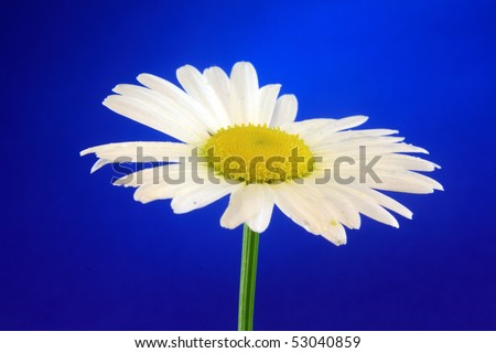 Photo of leucanthemum flower yellow single white head macro