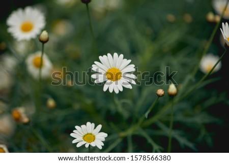 Leucanthemum maximum ramood  closeup  flower