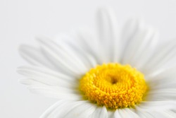 Leucanthemum vulgare, commonly known as the ox-eye daisy, oxeye daisy, dog daisy