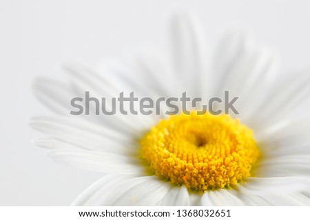 Leucanthemum vulgare, commonly known as the ox-eye daisy, oxeye daisy, dog daisy #1368032651