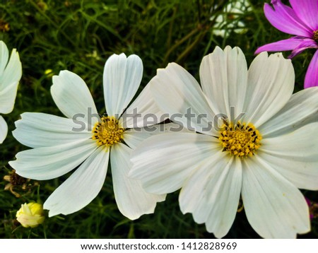 Leucanthemum vulgare, commonly known as theox-eye daisy,oxeye daisy,dog daisy #1412828969