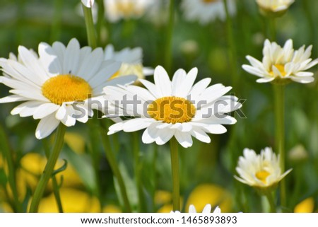 Leucanthemum vulgare, commonly known as the ox-eye daisy, oxeye daisy, dog daisy and other common names, is a widespread flowering plant #1465893893