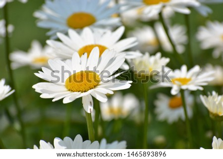 Leucanthemum vulgare, commonly known as the ox-eye daisy, oxeye daisy, dog daisy and other common names, is a widespread flowering plant #1465893896